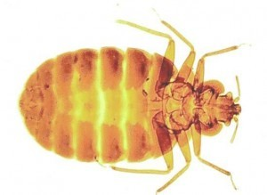 Bed Bug Control Tonbridge