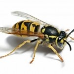 Wasp Nest removal kent