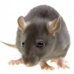 Rat Control Dartford