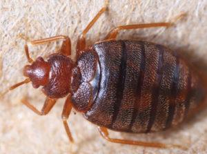 Bedbug control Chatham