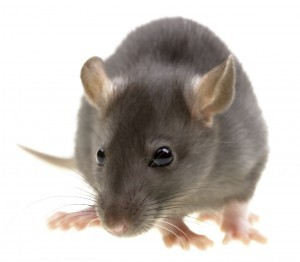 rodent control kent