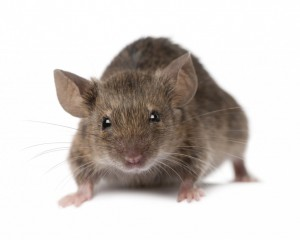 rodent control Maidstone