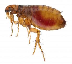 Flea Control kent